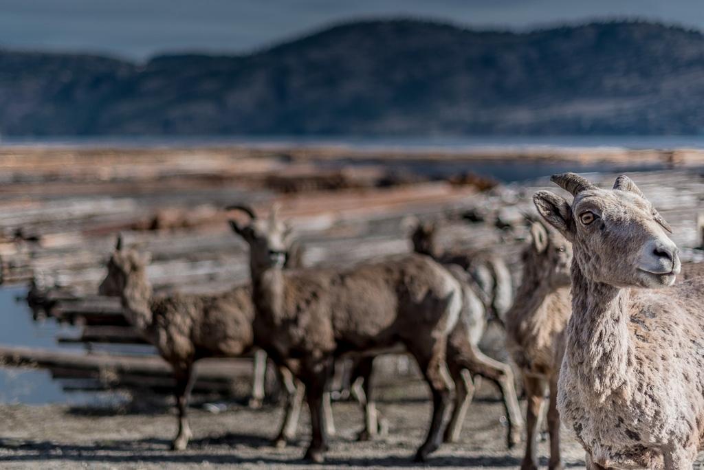 Sheep, and more sheep